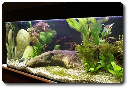 aquarium wurzeln wurzeln im aquarium scalare. Black Bedroom Furniture Sets. Home Design Ideas