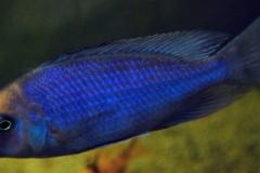 Beulenkopf- oder Delphinbuntbarsch (Cyrtocara moorii)