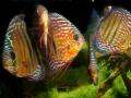 Diskusfische (Foto: Mißbichler)