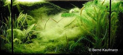 Bernd Kaufmann – Algen im Aquarium