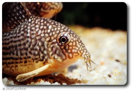 Salmler und Corydoras – Josef Lochner