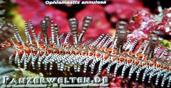 Wirbellose im Salzwasser-Nano-Aquarium
