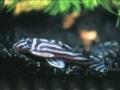 Zebrawels (Hypancistrus zebra)