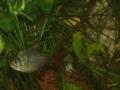 Schaubecken 12 - Salmler Südamerika