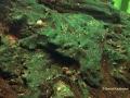 Blaualgenbekämpfung