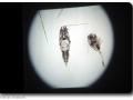 Plankton unter dem Mikroskop