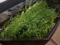 Kleines Fettblatt (Bacopa monnieri)
