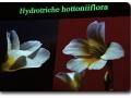 Hydrotriche hottoniiflora (Hottonia-blütiges Wasserhaar)