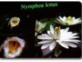 Nymphaea lotus (Tigerlotus)