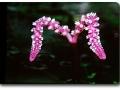 Aponogeton madagascariensis (Madagascar-Gitterpflanze)