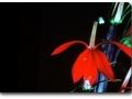 Lobelia cardinalis (Kardinalslobelie)
