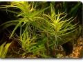 Heteranthera zosterifolia im Aquarium