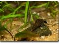 Malaiische Turmdeckelschnecke
