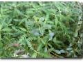 Emerse Kultur von Hygrohila pinnatifida