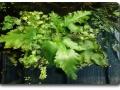 Ceratopteris cornuta (schwimmend)