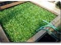 Schwimmende Kultur von Eichhornia crassipes