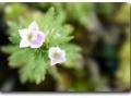 Blüte von Limnophila sessiliflora
