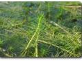 Sumerse Kultur von Myriophyllum propinquum
