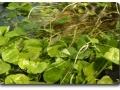 Submerse Kultur von Hydrocotyle leucocephala