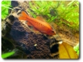 Bitterlingsbarbe (Puntius titteya)