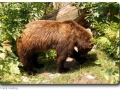 Braunbrär (Ursus arctos)
