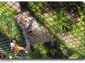 Felis silvestris (Wildkatze)