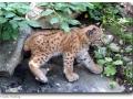 Lynx lynx (Eurasischer Luchs)