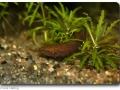 Betta albimarginata (Weißsaumkampffisch) male