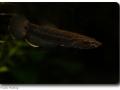Betta albimarginata (Weißsaumkampffisch) female
