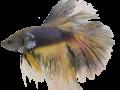 Kampffisch-Becken der Scalare Rosenheim
