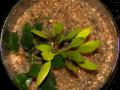 Emerse Pflanzenkultur