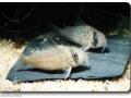 Corydoras (Panzerwelse)