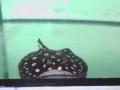 Aquarium Schatzberger: Süßwasser-Stechrochen