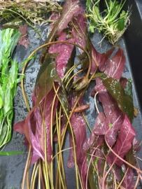 Langblättrige Barclaya (Barclaya longifolia, T. Stache)