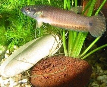 Augenfleck-Kampffisch (Betta ocellata)
