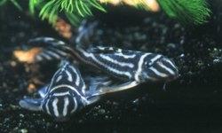 Hypancistrus zebra (Zebrawels L46)