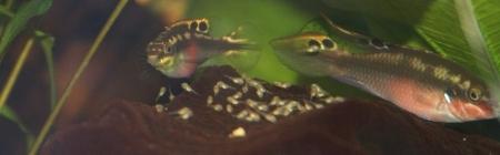 Purpur-Prachtbuntbarsch (Pelvicachromis pulcher)
